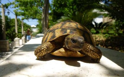 The story of Hermanni tortoises