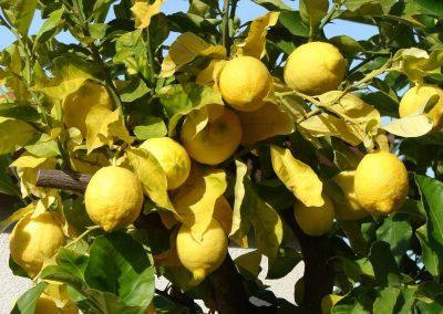 Apartments Mihajlovic Garden Lemon Tree