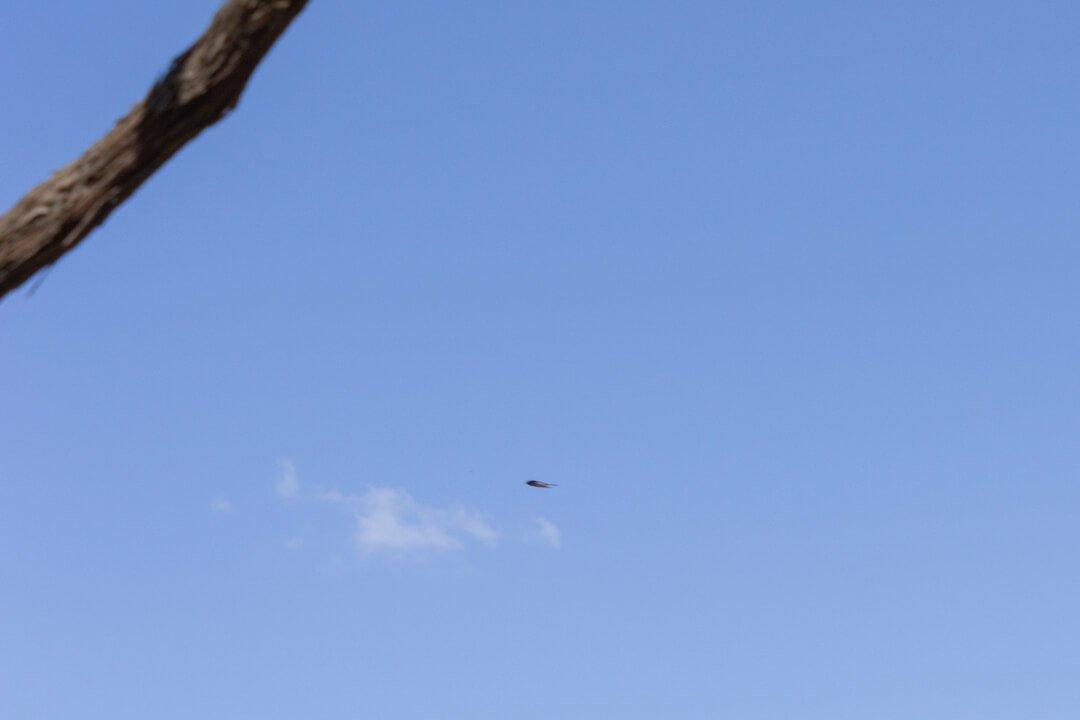 Alpine swifts on Lopud Island Dubrovnik